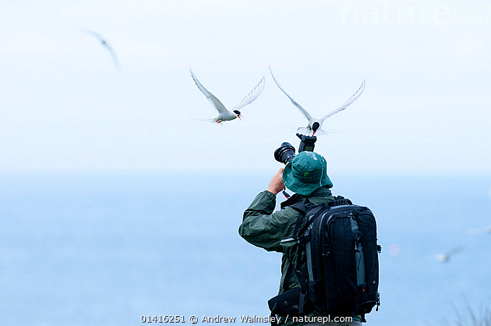Arctic terns (Sterna paradisaea), adults defending their nests from photographers,  Northumberland, June. No release available.  ,  AGGRESSION,BEHAVIOUR,BIRDS,COASTAL WATERS,COASTS,DEFENSIVE,DISTURBANCE,DISTURBING,ENGLAND,EUROPE,FLYING,ISLANDS,MOBBING,NESTS,PEOPLE,PHOTOGRAPHER,PHOTOGRAPHY,SEABIRDS,TERNS,UK,VERTEBRATES,United Kingdom,Catalogue5  ,  Andrew Walmsley