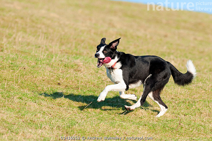 Adult male border collie dog running, Cumbria UK  ,  CANIDAE,CUMBRIA,DOGS,ENGLAND,EUROPE,MALES,MEDIUM DOGS,OUTDOORS,PASTORAL DOGS,PETS,PLAY,PLAYFUL,PLAYING,RESERVE,RUNNING,VERTEBRATES,Communication,Canids  ,  Andrew Walmsley