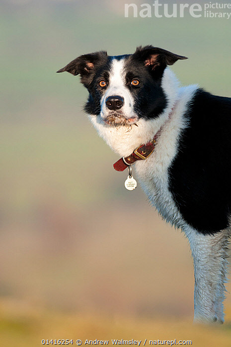 Adult male border collie portrait, Cumbria, January  ,  CANIDAE,COLLARS,DOGS,ENGLAND,EUROPE,LAKE DISTRICT,MEDIUM DOGS,NP,OUTDOORS,PASTORAL DOGS,PETS,PORTRAITS,RESERVE,VERTEBRATES,VERTICAL,National Park,Canids  ,  Andrew Walmsley