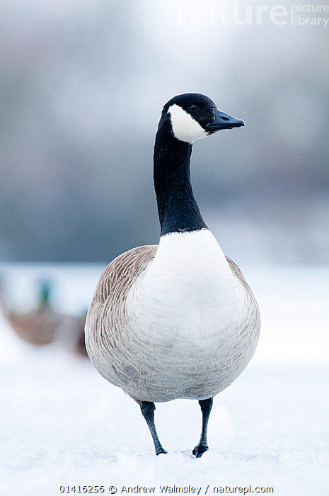 Canada goose (Branta canadensis) standing on a frozen lake. Staffordshire, February  ,  ANATIDAE,BIRDS,ENGLAND,EUROPE,GEESE,ICE,LAKES,PORTRAITS,SNOW,UK,VERTEBRATES,VERTICAL,WATERFOWL,WINTER,United Kingdom  ,  Andrew Walmsley