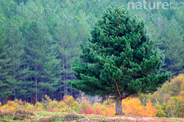 Scots Pine (Pinus sylvestris) tree in autumn on Stoborough Heath. Dorset, UK, October.  ,  CONIFERS,DORSET,ENGLAND,EUROPE,GYMNOSPERMS,HEATHLAND,PINACEAE,PINES,PLANTS,TREES,UK,WOODLANDS,United Kingdom  ,  Colin Varndell