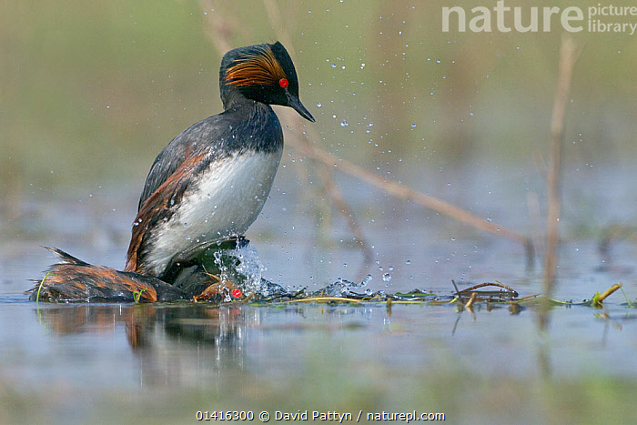 Black necked grebe (Podiceps nigricollis) male jumping on top of the head of the female after mating, La Dombes lake area, France, April  ,  BEHAVIOUR,BIRDS,COPULATION,COURTSHIP,EUROPE,FRANCE,GREBES,LAKES,MALE FEMALE PAIR,MALES,MATING,MATING BEHAVIOUR,PAIR,PODICIPEDIDAE,SURFACE,VERTEBRATES,WATER,WATERFOWL,Reproduction  ,  David Pattyn