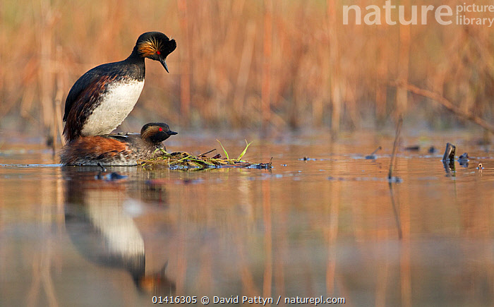 Black necked grebe (Podiceps nigricollis) pair mating at the edge of a lake, La Dombes lake area, France, April, BIRDS,COPULATION,COPYSPACE,EUROPE,FRANCE,GREBES,LAKES,MALE FEMALE PAIR,MATING,MATING BEHAVIOUR,PAIR,PODICIPEDIDAE,REFLECTIONS,REPRODUCTION,VERTEBRATES,WATER,WATERFOWL,WETLANDS, David Pattyn