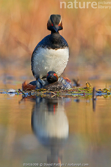 Black necked grebe (Podiceps nigricollis) frontal view of pair mating, La Dombes lake area, France, April  ,  BIRDS,COPULATION,EUROPE,FRANCE,GREBES,LAKES,MALE FEMALE PAIR,MATING,MATING BEHAVIOUR,PAIR,PODICIPEDIDAE,PORTRAITS,REFLECTIONS,VERTEBRATES,VERTICAL,WATER,WATERFOWL,Reproduction,Catalogue5  ,  David Pattyn