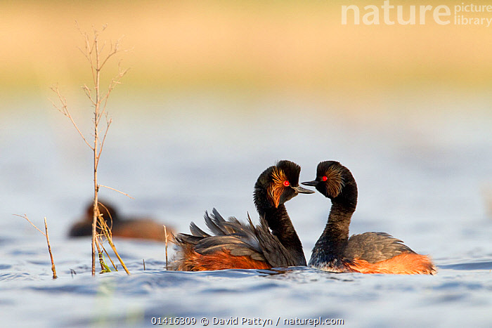Black necked grebe (Podiceps nigricollis) pair courting in preparation to mate, La Dombes lake area, France, April, BEHAVIOUR,BIRDS,COURTSHIP,EUROPE,FRANCE,GREBES,INTERACTION,LAKES,MALE FEMALE PAIR,MATING BEHAVIOUR,PAIR,PODICIPEDIDAE,VERTEBRATES,WATER,WATERFOWL, David Pattyn
