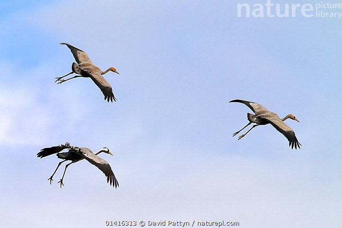 Common Crane (Grus grus) three  flying and preparing to land, Mecklenburg-Vorpommern, Germany, October, AUTUMN,BIRDS,COPYSPACE,CRANES,EUROPE,FLIGHT,FLYING,GERMANY,GROUPS,GRUIDAE,LANDING,THREE,VERTEBRATES, David Pattyn