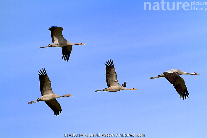 Common Crane (Grus grus) flock flying, Mecklenburg-Vorpommern, Germany, October  ,  AUTUMN,BIRDS,CRANES,EUROPE,FLIGHT,FLYING,FOUR,GERMANY,GROUPS,GRUIDAE,MIGRATION,VERTEBRATES  ,  David Pattyn