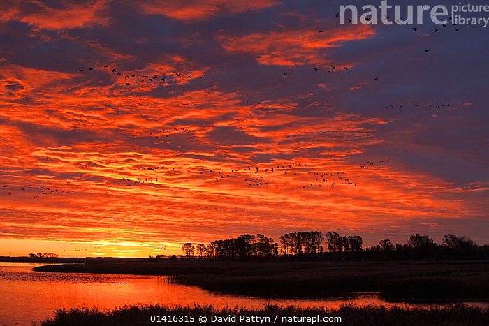 Common Crane (Grus grus) groups flying past at sunrise over a bay close to Zingst, Mecklenburg-Vorpommern, Germany, October, ATMOSPHERIC,BIRDS,CLOUDS,CRANES,DAWN,EUROPE,FLIGHT,FLOCKS,FLYING,GERMANY,GROUPS,GRUIDAE,LANDSCAPES,MASS,MIGRATION,SILHOUETTED,SKIES,SUNRISE,VERTEBRATES,WETLANDS,Weather, David Pattyn