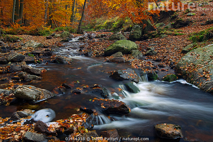 Hoegne river at the edge of the 'Hoge Venen' nature reserve, in Autumn colours, Ardennes, Belgium, November  ,  AUTUMN,BELGIUM,EUROPE,FRESHWATER,HABITAT,LANDSCAPES,LEAVES,RESERVE,RIVERS,ROCKS,STREAMS,WATER,WINTER,WOODLANDS  ,  David Pattyn