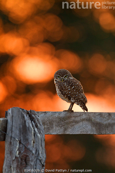 Burrowing Owl (Athene cunicularia) perched on a wooden fence backlit at sunrise, Southern Pantanal, Mato Grosso do Sul State, BrazilAugust  ,  BIRDS,BIRDS OF PREY,BRAZIL,COPYSPACE,DAWN,FENCES,OWLS,PANTANAL,PORTRAITS,PROFILE,SOUTH AMERICA,STRIGIDAE,SUNRISE,TROPICAL,TROPICS,VERTEBRATES,VERTICAL,WETLANDS,Raptor,Catalogue5  ,  David Pattyn