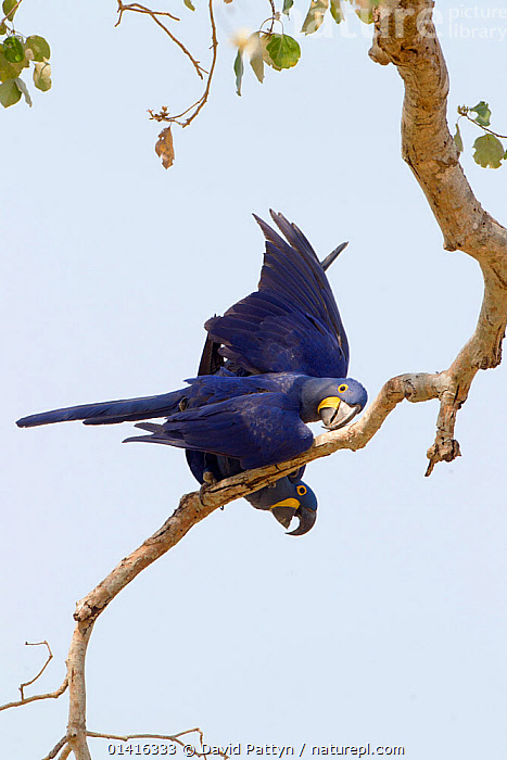 Hyacinth macaws (Anodorhynchus hyacinthinus) a couple mating on a tree branch, Pantanal, Brazil, August  ,  BIRDS,BRANCHES,BRAZIL,COPULATION,ENDANGERED,MACAWS,MALE FEMALE PAIR,MATING,MATING BEHAVIOUR,PANTANAL,PARROTS,REPRODUCTION,SOUTH AMERICA,TROPICAL,VERTEBRATES,VERTICAL,WETLANDS  ,  David Pattyn