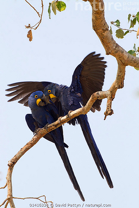 Hyacinth macaws (Anodorhynchus hyacinthinus) pair courting on a tree branch just before mating, Pantanal, Brazil, August  ,  AFFECTIONATE,BIRDS,BONDING,BRANCHES,COURTSHIP,ENDANGERED,INTERACTION,MACAWS,MALE FEMALE PAIR,MATING BEHAVIOUR,PARROTS,SOUTH AMERICA,TROPICAL,VERTEBRATES,VERTICAL,WETLANDS  ,  David Pattyn