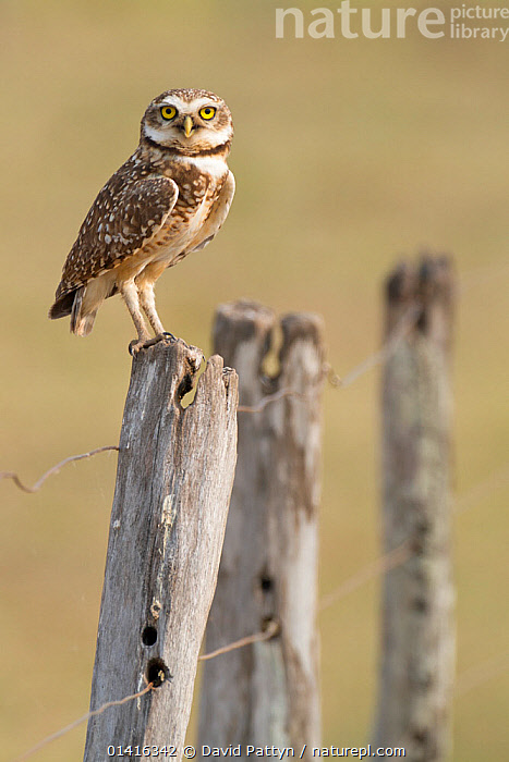 Burrowing Owl (Athene cunicularia) perched  on  fence post, Southern Pantanal, Mato Grosso do Sul State, Brazil, August  ,  BIRDS,BIRDS OF PREY,BRAZIL,OWLS,PANTANAL,PORTRAITS,SOUTH AMERICA,STRIGIDAE,TROPICAL,VERTEBRATES,VERTICAL,Raptor  ,  David Pattyn