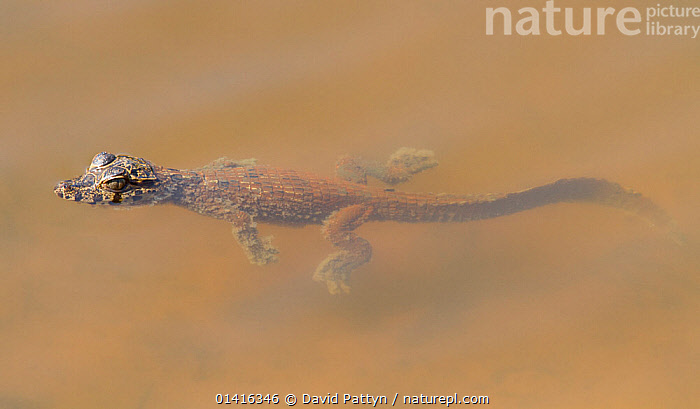 Spectacled caiman (Caiman crocodilus) baby swimming in the water of an oxbow lake, Pantanal, Brazil  ,  ALLIGATORS,BABIES,BRAZIL,COPYSPACE,CROCODILIANS,HATCHLING,JUVENILE,PANORAMIC,PANTANAL,REPTILES,SOUTH AMERICA,SWIMMING,TROPICAL,TROPICS,VERTEBRATES,VULNERABLE,WATER,WETLANDS,YOUNG,Crocodylia,Caimans  ,  David Pattyn