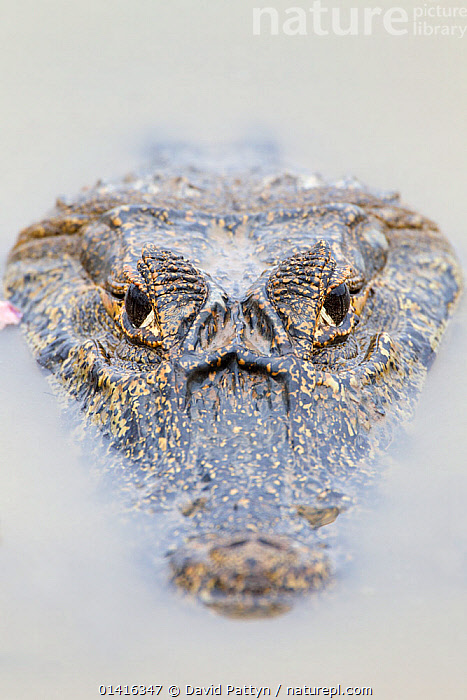 Spectacled caiman (Caiman crocodilus) portrait with head just on water surface, Pantanal, Brazil  ,  ALLIGATORS,BRAZIL,COPYSPACE,CROCODILIANS,FACES,HEADS,MENACING,PANTANAL,PORTRAITS,REPTILES,SOUTH AMERICA,TROPICAL,VERTEBRATES,VERTICAL,WETLANDS,Crocodylia,Caimans,Catalogue5  ,  David Pattyn
