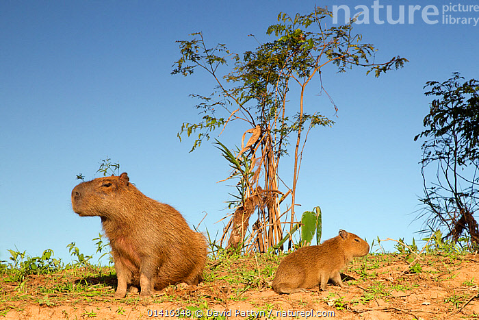 Capybara (Hydrochoerus hydrochaeris) mother and young sitting on a river bank, Pantanal, Brazil.  ,  BABIES,BRAZIL,CAVIES,CAVIIDAE,FEMALES,JUVENILE,MAMMALS,MOTHER AND YOUNG,PANTANAL,RESTING,RODENTS,SITTING,SOUTH AMERICA,TROPICAL,TROPICS,VERTEBRATES,WETLANDS,YOUNG  ,  David Pattyn