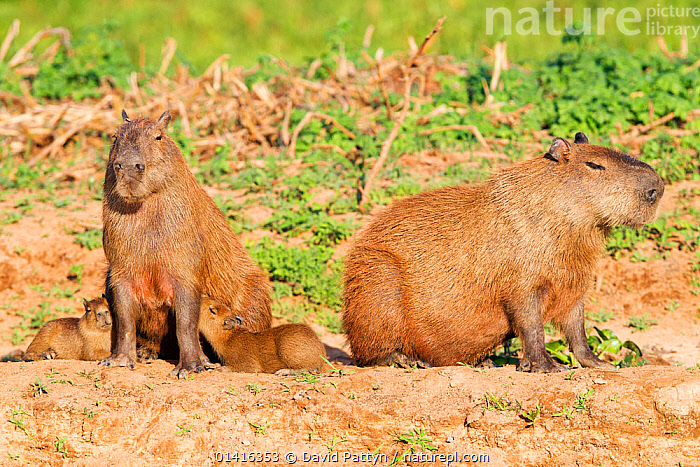 Capybara (Hydrochoerus hydrochaeris) family group with female suckling the young, Pantanal, Brazil.  ,  BABIES,BRAZIL,CAVIES,CAVIIDAE,FAMILIES,FEEDING,FEMALES,GROUPS,JUVENILE,MAMMALS,MOTHER AND YOUNG,NURSING,PANTANAL,RODENTS,SOUTH AMERICA,SUCKLING,TROPICAL,VERTEBRATES,WETLANDS,YOUNG  ,  David Pattyn