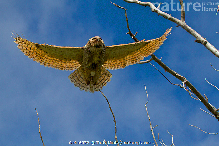 Great Horned Owl (Bubo virginianus) in flight, seen from below. Saskatchewan, Canada, May.  ,  BIRDS,BIRDS OF PREY,CANADA,FLYING,LOW ANGLE SHOTS,NORTH AMERICA,OWLS,VERTEBRATES,WINGSPAN,Raptor  ,  Todd Mintz