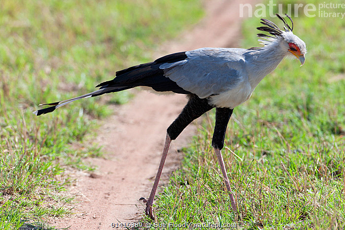 Secretary bird (Sagittarius serpentarius) male hunting, Masai Mara National Reserve, Kenya.  ,  AFRICA,BEHAVIOUR,BIRDS,EAST AFRICA,HUNTING,MAASAI,MALES,PROFILE,RESERVE,SECRETARY BIRDS,STALKING,VERTEBRATES  ,  Sue Flood