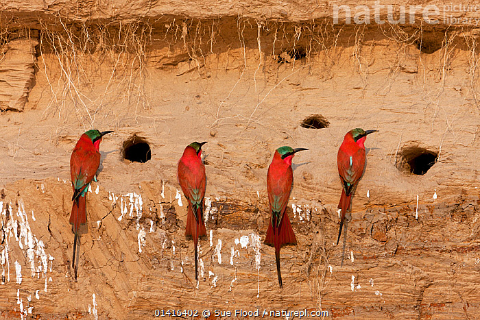 Carmine bee-eaters (Merops nubicus) next to nest holes in river bank in South Luangwa valley, Zambia September  ,  AFRICA,BEE EATERS,BEHAVIOUR,BIRDS,FLOCKS,FOUR,GROUPS,NATIONAL PARK,NESTING BEHAVIOUR,NESTS,NP,REPRODUCTION,RESERVE,RIVERBANK,SOUTHERN AFRICA,VERTEBRATES,ZAMBIA  ,  Sue Flood