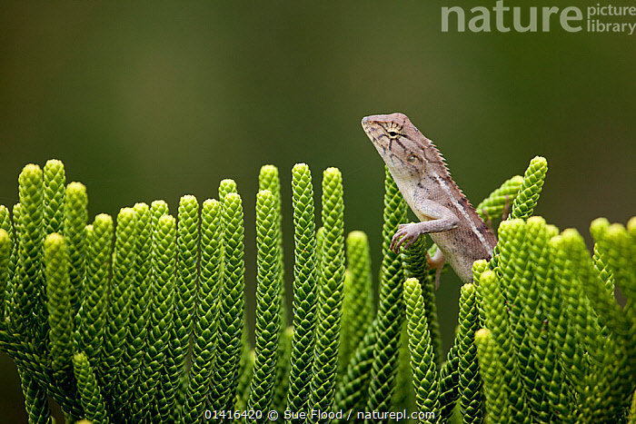 Garden / Changeable Lizard (Calotes versicolor) amongst plants, Ocean Dunes Golf Course, Phan Thiet, Vietnam.  ,  AGAMAS,ASIA,COPYSPACE,LANDSCAPES,LIZARDS,PLANTS,PROFILE,REPTILES,SOUTH EAST ASIA,TROPICAL,TROPICS,VERTEBRATES,VIETNAM  ,  Sue Flood