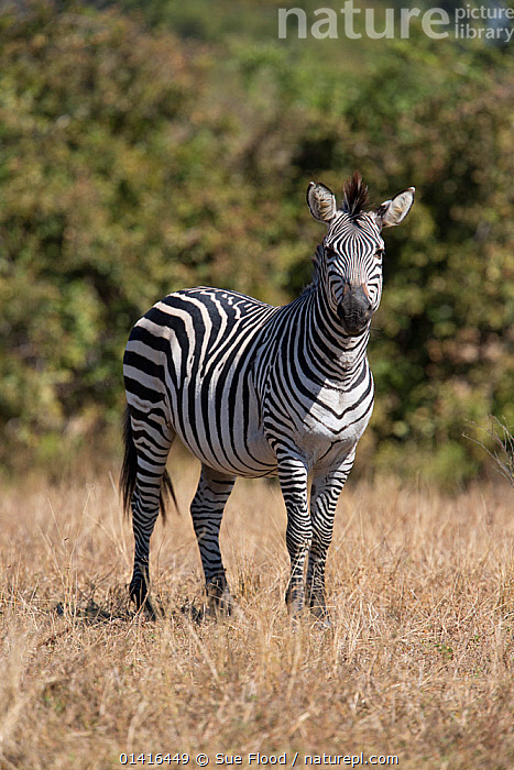 Crawshay's zebra (Equus quagga crawshayi) in south Luangwa valley, Zambia. This is a subspecies of the plains zebra and has very narrow stripes compared to other forms of the Plains zebra.  ,  AFRICA,EQUIDAE,MAMMALS,NATIONAL PARK,NP,PERISSODACTYLA,PORTRAITS,RESERVE,SOUTHERN AFRICA,STANDING,STRIPES,SUBSPECIES,VERTEBRATES,VERTICAL,ZAMBIA,ZEBRAS,Equines  ,  Sue Flood