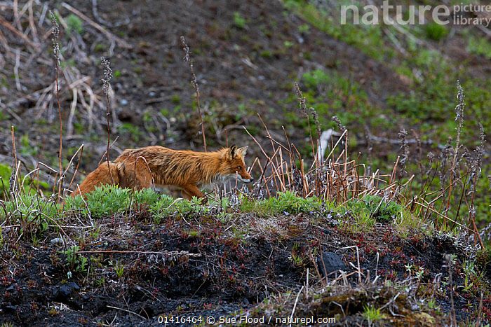 Red fox (Vulpes vulpes) on Matua Island, an uninhabited island near the centre of the Kuril Island chain in the Sea of Okhotsk, Russia  ,  ASIA,CANIDAE,CANIDS,CARNIVORES,FOXES,ISLANDS,MAMMALS,PROFILE,RED,RUSSIA,VERTEBRATES,WALKING,Dogs  ,  Sue Flood
