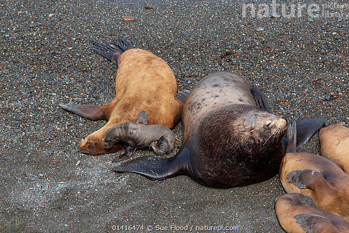 Northern fur seal (Callorhinus ursinus) male, female and new born pup on Tyuleniy Island, Russian Far East, June  ,  ASIA,BABIES,BEACHES,CARNIVORES,ENDANGERED,FAMILIES,FEMALES,FUR SEALS,GROUPS,ISLANDS,JUVENILES,KURIL,MALES,MAMMALS,MARINE,MOTHER AND YOUNG,OTARIIDAE,PINNIPEDS,PUPS,RUSSIA,RUSSIAN FAR EAST,SEALS,VERTEBRATES,VULNERABLE,YOUNG,CIS  ,  Sue Flood