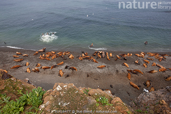 Northern fur seals (Callorhinus ursinus) looking down on breeding colony with male, female and new born pups all resting on Tyuleniy Island, Russian Far East, June.  ,  ASIA,BABIES,BEACHES,BREEDING,CARNIVORES,COASTS,COLONIES,ENDANGERED,FAMILIES,FEMALES,FUR SEALS,GROUPS,ISLANDS,JUVENILE,KURIL,LANDSCAPES,MALES,MAMMALS,MARINE,MOTHER AND YOUNG,OKHOTSK,OTARIIDAE,PINNIPEDS,PUPS,REPRODUCTION,RUSSIA,RUSSIAN FAR EAST,SEA,SHORELINE,TYULENIY,VERTEBRATES,VULNERABLE,WATER,YOUNG,CIS  ,  Sue Flood