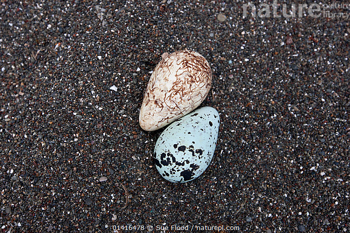 Common guillemot (Uria aalge) murre eggs on Tyuleniy Island (Ostrov Tyuleniy) is a small island in the Sea of Okhotsk, Russian Far East, June  ,  ASIA,AUKS,BEACHES,BIRDS,BREEDING,EGGS,ISLANDS,KURIL,MURRE,OKHOTSK,REPRODUCTION,RUSSIA,SAND,SEABIRDS,TWO,TYULENIY,VERTEBRATES,CIS  ,  Sue Flood