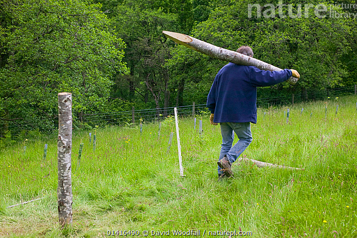 Wildlife Trust volunteer carrying fence posts to fence area of Sessile Oakwood. Radnorshire Wildlife Trust Nature Reserve, Wales, UK, June.  ,  CONSERVATION,EUROPE,PEOPLE,SSSI,UK,VOLUNTEERING ,WALES,WORKING,United Kingdom  ,  David Woodfall