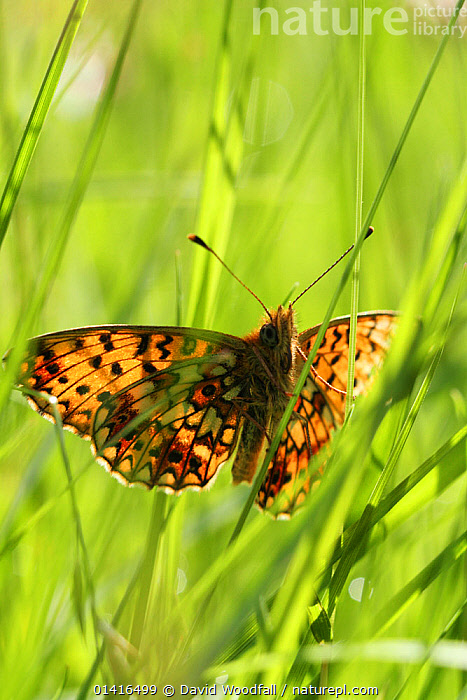 Small Pearl bordered fritillary butterfly (Boloria selene) in grass, Radnorshire Wildlife Trust Nature Reserve, Wales, UK, June.  ,  ARTHROPODS, BUTTERFLIES, EUROPE, INSECTS, INVERTEBRATES, LEPIDOPTERA, SSSI, UK, WALES,United Kingdom,Catalogue5  ,  David Woodfall