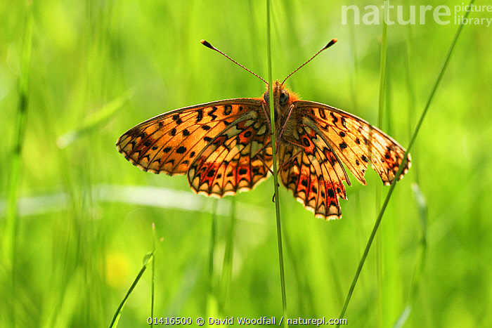 Small pearl bordered fritillary butterfly (Boloria selene) in grass, Radnorshire Wildlife Trust Nature Reserve, Wales, UK, June.  ,  ARTHROPODS, BUTTERFLIES, EUROPE, INSECTS, INVERTEBRATES, LEPIDOPTERA, SSSI, UK, WALES,United Kingdom  ,  David Woodfall