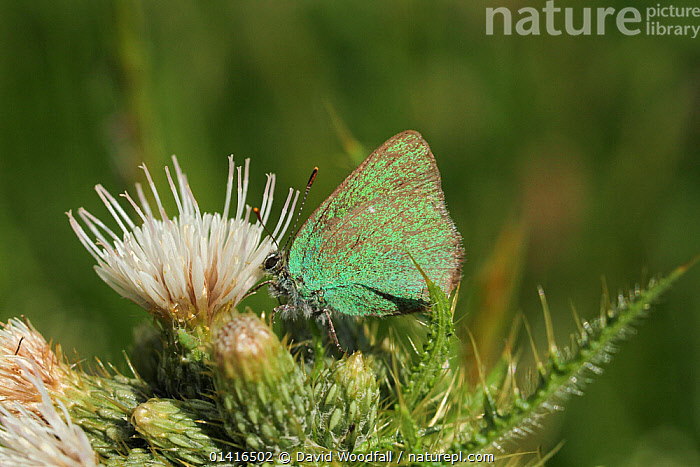 Green Hairstreak (Callophrys rubi) butterfly on thistle. Radnorshire Wildlife Trust Nature Reserve, Wales, UK, June.  ,  ARTHROPODS,BUTTERFLIES,EUROPE,FLOWERS,GREEN,INSECTS,INVERTEBRATES,LEPIDOPTERA,SSSI,UK,WALES,United Kingdom  ,  David Woodfall