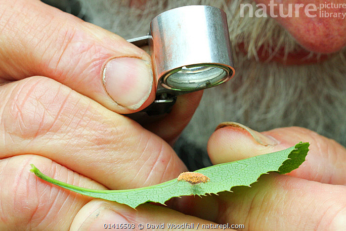 Botanist using eye piece to identify Black Stem Rust, a fungus species which threatens future of world wheat crops. Radnorshire, Wales, UK, June.  ,  CONSERVATION,DISEASES,EUROPE,FUNGI,OUTDOORS,PEOPLE,PESTS,PLANTS,RESEARCH,RUSSULACEAE,UK,WALES,United Kingdom  ,  David Woodfall