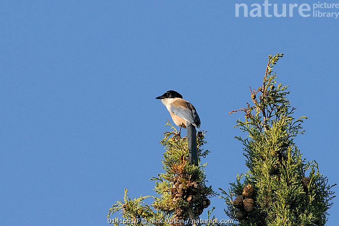 Azure winged magpie (Cyanopica cyana) perched at the top of a Mediterranean cypress tree (Cupressus sempervirens), Algarve, Portugal, June.  ,  BIRDS,CONES,CONIFERS,COPYSPACE,CORVIDAE,CORVIDS,EUROPE,MAGPIES,MEDITERRANEAN,PORTUGAL,PROFILE,SKY,SONGBIRDS,SUMMER,VERTEBRATES  ,  Nick Upton