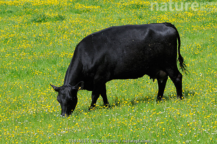 Domestic Cow (Bos taurus) grazing a meadow carpeted with Buttercups (Ranunculus acris), Somerset, UK, May.  ,  ARTIODACTYLA,BLACK,BOVIDAE,CATTLE,COW,COWS,DOMESTIC,ENGLAND,EUROPE,FARMLAND,FIELDS,FLOWERS,GRASS,GRASSLAND,GRAZING,LIVESTOCK,MAMMALS,MEADOWS,PASTURELAND,PORTRAITS,PROFILE,SOMERSET,VERTEBRATES,Plants,United Kingdom  ,  Nick Upton