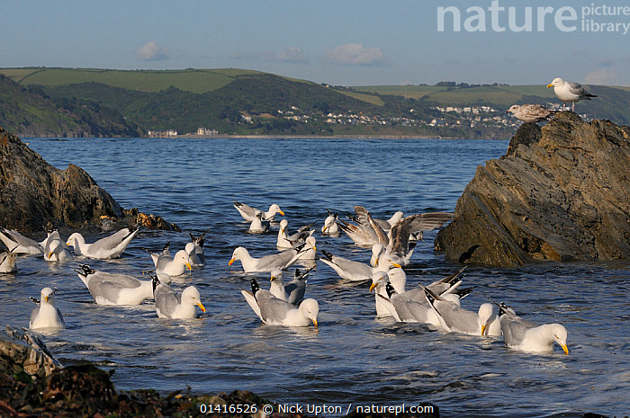 Herring gulls (Larus argentatus) foraging in a flock in shallow sea water near shore for invertebrates disturbed from tide wrack by a high spring tide, with Downderry village in the background, Looe, Cornwall, UK, June.  ,  BEHAVIOUR,BIRDS,COASTAL WATERS,COASTS,ENGLAND,EUROPE,FEEDING,FLOCKS,GROUPS,GULLS,HABITAT,LANDSCAPES,LARIDAE,MARINE,SEA,SEABIRDS,SUMMER,TIDAL,UK,VERTEBRATES,WATER,United Kingdom  ,  Nick Upton