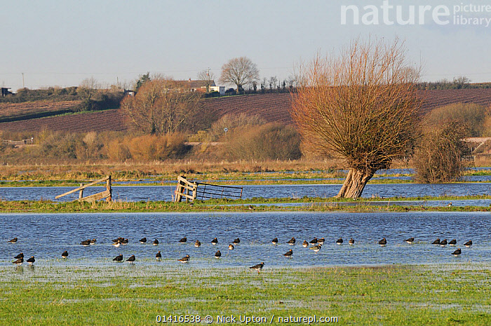 Lapwings (Vanellus vanellus) resting on flooded meadow on the Somerset Levels after several days of heavy rain, UK, December.  ,  BIRDS,CHARADRIIDAE,COUNTRYSIDE,ENGLAND,EUROPE,FARMLAND,FLOCKS,FLOODING,FLOODS,FRESHWATER,GRASSLAND,GROUPS,LANDSCAPES,LAPWINGS,PASTURELAND,PLOVERS,RAINWATER,VERTEBRATES,WADERS,WATER,WETLANDS,WINTER,United Kingdom  ,  Nick Upton