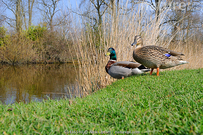 Mallard (Anas platyrhynchos) pair standing on grassy margin of a lake, Wiltshire, UK, March.  ,  ANATIDAE,BIRDS,DUCK,DUCKS,ENGLAND,EUROPE,HABITAT,LAKES,MALE FEMALE PAIR,PARKS,PONDS,PROFILE,SPRING,TWO,VERTEBRATES,WATER,WATERFOWL,WILDFOWL,United Kingdom  ,  Nick Upton