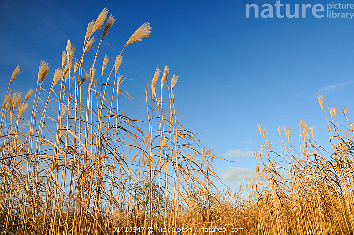 Elephant grass (Miscanthus giganteus) flowering, grown as an energy crop for use in biomass boilers, Willtshire, UK, December.  ,  AGRICULTURE,BIOFUEL,BIOMASS,CROPS,ENERGY,ENGLAND,EUROPE,FARMING,FARMLAND,FLOWERS,FUEL,GRAMINEAE,GRASSES,LANDSCAPES,MONOCOTYLEDONS,MONOCULTURE,PLANTS,POACEAE,RENEWABLE,SKY,SUSTAINABLE,WINTER,United Kingdom  ,  Nick Upton