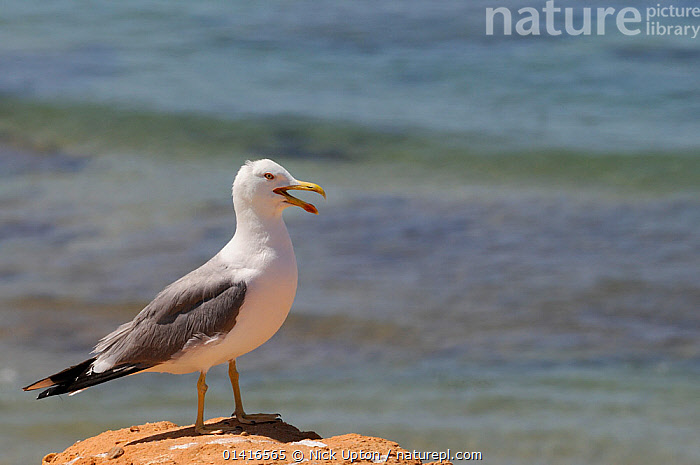 Atlantic Yellow legged gull (Larus michahellis) calling as it stands on sandstone cliff with the sea in the background, Praia da Rocha, Algarve, Portugal, June.  ,  ATLANTIC,BIRDS,CALLING,COASTS,COMMUNICATION,COPYSPACE,CUTOUT,EUROPE,GULLS,LARIDAE,MEDITERRANEAN,PORTRAITS,PORTUGAL,PROFILE,SEA,SEABIRDS,SUMMER,VERTEBRATES,VOCALISATION,Marine  ,  Nick Upton
