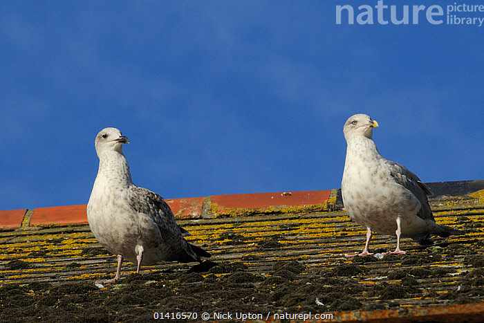 Herring gulls (Larus argentatus) standing on the mossy rooftop where they were raised, Looe, Cornwall, UK, August.  ,  BIRDS,BREEDING,BUILDINGS,CHICKS,COPYSPACE,ENGLAND,EUROPE,GULLS,HOUSES,IMMATURE,JUVENILE,LARIDAE,ROOF,ROOFTOPS,SEABIRDS,SUMMER,TWO,URBAN,VERTEBRATES,YOUNG,uk,United Kingdom  ,  Nick Upton