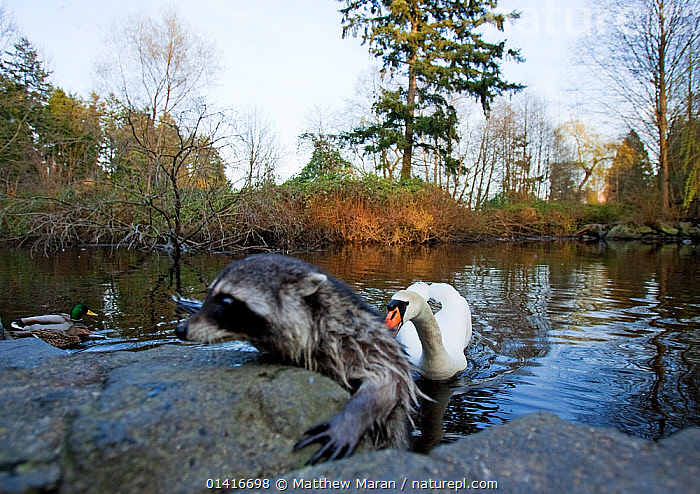 Raccoon (Procyon lotor) climbing out of a lake, escaping the nipping beak of a swan, defending its territory, Stanley Park, Vancouver, BC, Canada  ,  BIRDS,CARNIVORES,DANGER,DEFENSIVE,INTERACTION,MAMMALS,MIXED SPECIES,PROCYONIDAE,RACCOONS,SWANS,VERTEBRATES,WATERFOWL,WILDFOWL,North America,Behaviour  ,  Matthew Maran