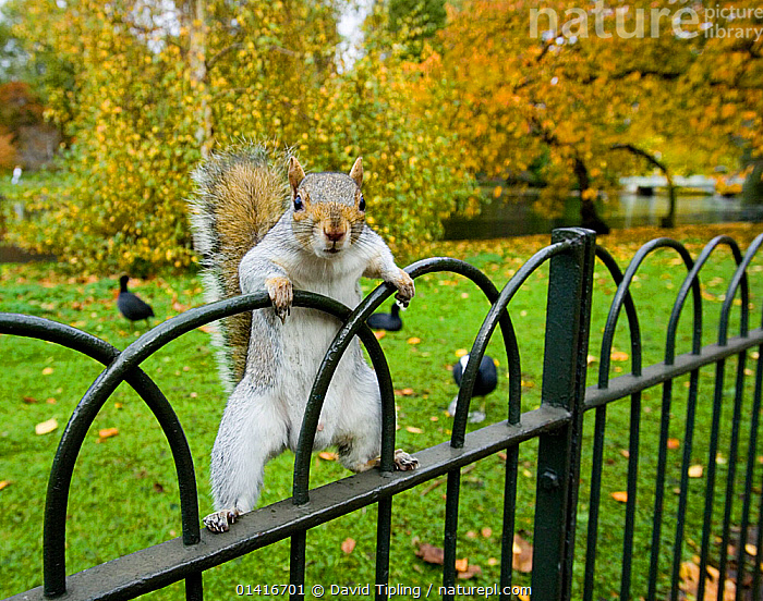 Grey Squirrel (Sciurus carolinensis) climbing on fence, St James Park, London, UK, October, CITIES,ENGLAND,EUROPE,london,MAMMALS,Parks,PORTRAITS,rodents,Sciuridae,SQUIRRELS,UK,URBAN,VERTEBRATES high1314,SCIURUS CAROLINENSIS,Animal,Vertebrate,Mammal,Rodent,Squirrel,Eastern Gray Squirrel,Animalia,Animal,Wildlife,Vertebrate,Mammalia,Mammal,Rodentia,Rodent,Sciuridae,Sciurus,Squirrel,Sciurus carolinensis,Eastern Gray Squirrel,Gray Squirrel,Grey Squirrel,Standing,Balance,Mischief,Black,Nobody,Europe,Western Europe,UK,Great Britain,England,London,Greater London,Full Length,Full Lengths,Whole,Boundary,Fence,Railing,Handrail,Handrails,Railings,Outdoors,Open Air,Outside,Autumn,Autumnal,Fall,Day,Nature,Natural,Natural World,Wild,Animal Behaviour,Playing,Behaviour,Play,Playful,Standing on hind legs,Ventral view,Underside, David Tipling