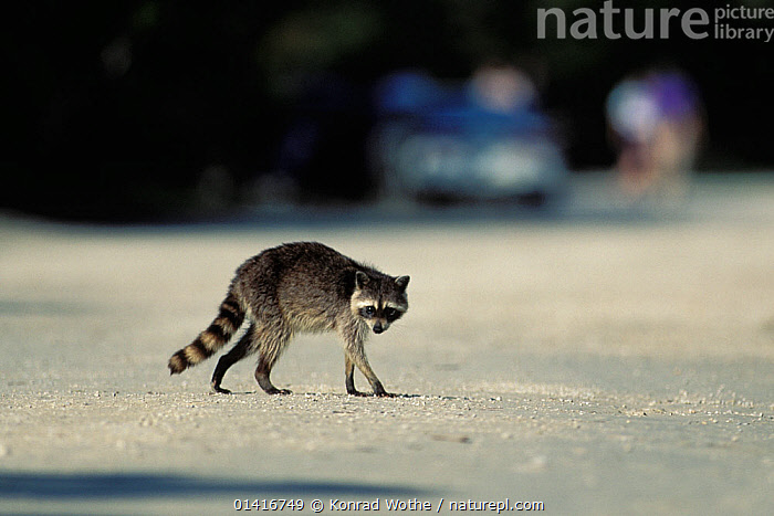 Racoon (Procyon lotor) crossing road, USA, captive  ,  CARNIVORES,CITIES,MAMMALS,NORTH AMERICA,PROCYONIDAE,RACCOONS,ROADS,URBAN,USA,VERTEBRATES  ,  Konrad Wothe