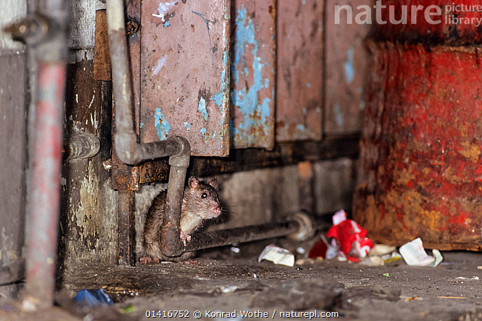 Brown rat (Rattus norvegicus) amongst street rubbish, Borneo, December  ,  BORNEO,CITIES,MAMMALS,MURIDAE,PESTS,PIPES,RATS,RODENTS,RUBBISH,SOUTH EAST ASIA,URBAN,VERTEBRATES,,Litter,Pollution,Waste,  ,  Konrad Wothe