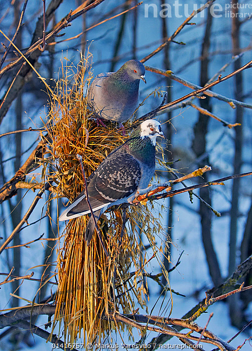 Feral Pigeon (Columba livia) pair at bird feeder of oat stems, Helsinki, Finland, December  ,  BIRDS,CITIES,COLUMBIFORMES,DOVES,EUROPE,FEEDERS,FINLAND,SCANDINAVIA,TREES,URBAN,VERTEBRATES,VERTICAL,PLANTS  ,  Markus Varesvuo