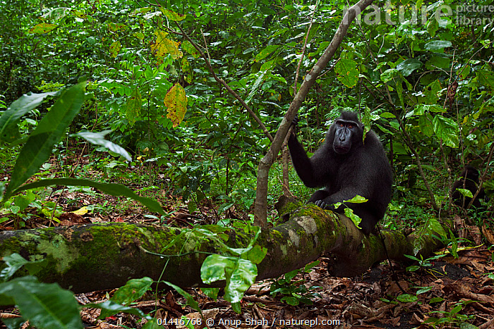 Celebes / Black crested macaque (Macaca nigra)  mature male sitting on a fallen tree, Tangkoko National Park, Sulawesi, Indonesia.  ,  ASIA,BLACK CRESTED MACAQUE,CERCOPITHECIDAE,CRITICALLY ENDANGERED,ENDANGERED,FORESTS,HABITAT,INDONESIA,LANDSCAPES,MACAQUES,MALES,MAMMALS,MONKEYS,NATIONAL PARK,NP,PRIMATES,RESERVE,RESTING,SITTING,SOUTH EAST ASIA,TREES,TROPICAL,TROPICAL RAINFOREST,TROPICS,VEGETATION,VERTEBRATES,PLANTS  ,  Anup Shah