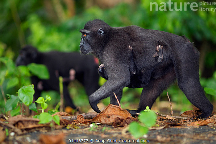 Celebes / Black crested macaque (Macaca nigra)  females carrying their babies aged less than 1 month under their bellies, Tangkoko National Park, Sulawesi, Indonesia.  ,  ASIA,BABIES,BLACK CRESTED MACAQUE,CARRYING,CERCOPITHECIDAE,CRITICALLY ENDANGERED,ENDANGERED,FEMALES,FORESTS,INDONESIA,JUVENILE,MACAQUES,MAMMALS,MATERNAL BEHAVIOUR,MONKEYS,MOTHER AND YOUNG,MOTHER BABY,NATIONAL PARK,NP,PARENTAL,PRIMATES,PROFILE,RESERVE,SOUTH EAST ASIA,TRAVELLING,TROPICAL,TROPICS,VERTEBRATES,WALKING,YOUNG  ,  Anup Shah